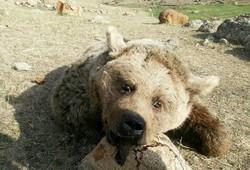 حمله حیوانات درنده به روستاهای شمیران نتیجه زمین و کوه خواری بشر