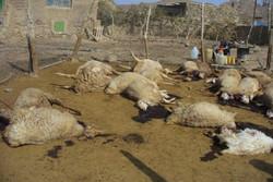 تلف شدن ۶۰ رأس دام در آزادشهر