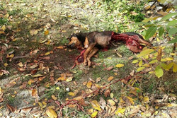 درگیری خرس و سگ نگهبان در منطقه مسکونی شمیرانات