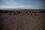 تولید ۹۲درصدی زعفران جهان توسط ایران/ خام فروشی۳۸۰میلیون دلاری