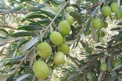 برداشت زیتون از سطح ۶۵۰۰ هکتار از  باغات بارور قزوین آغاز شد