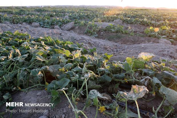 خسارت تند باد به مزارع کشاورزی هشتبندی هرمزگان