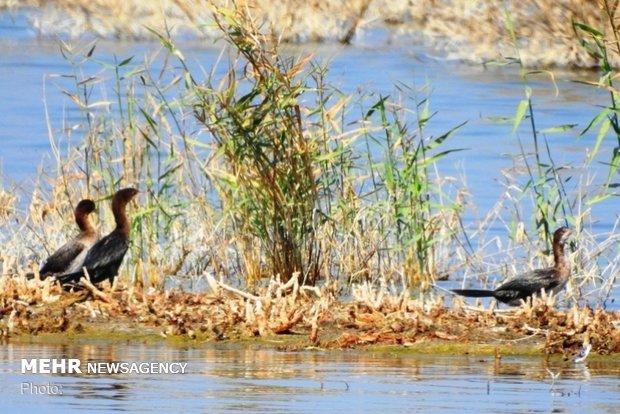 فصل مهاجرت پرندگان به تالاب شادگان آغاز شد