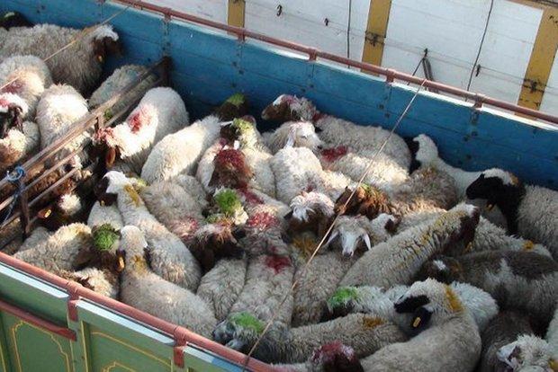 کشف دو محموله دام قاچاق در استان قزوین