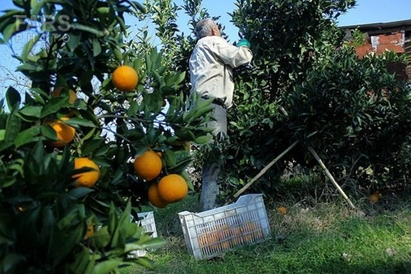 برداشت مرکبات از ۹۵۳۳ هکتار باغ های گیلان آغاز شد