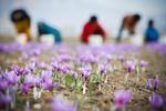 زعفران ایران را ۳۰۰ دلار میخرند ۷۰۰۰ دلار میفروشند/ سود در جیب دلالان بینالمللی