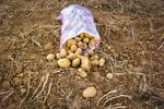 """مزارع البطاطس بمحافظة """"جهارمحال وبختياري"""" / صور"""