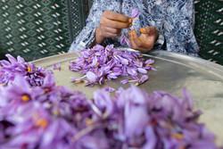 میزان برداشت زعفران از مزارع خراسان رضوی باید افزایش یابد