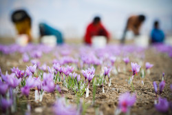 Iran's saffron cultivation system recognized as 'cultural heritage' by FAO