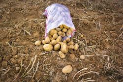 سیب زمینی تا اواسط مردادماه ارزان نخواهد شد / عرضه کم است