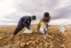 ممنوعیت صادرات سیب زمینی قیمت آن را در بازار کشور پایین میآورد