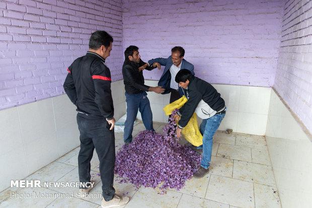 Harvesting saffron in Torbat-e Heydarieh