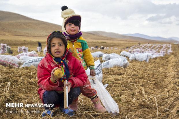 برداشت سیب زمینی از مزارع استان چهارمحال و بختیاری