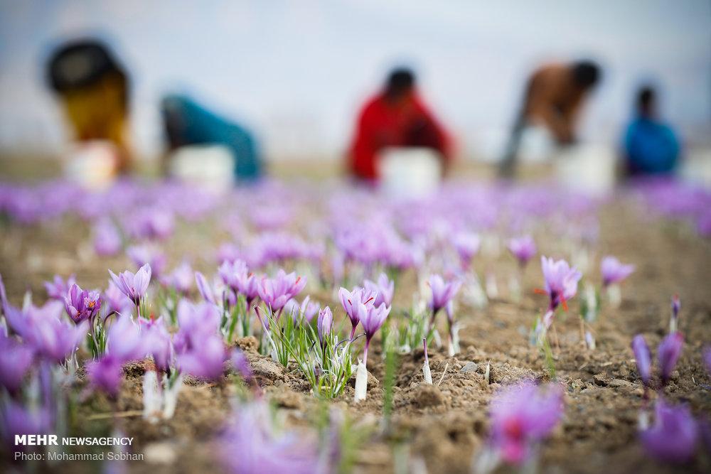 تربت حیدریہ میں زعفران جمع کرنے کی فصل کا آغاز
