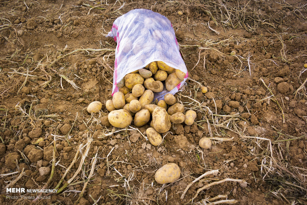 چہار محال بختیاری میں آلو جمع کرنے کی فصل کا آغاز