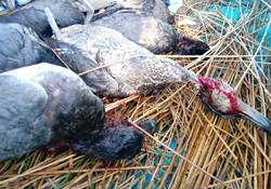 شادگان قتلگاه پرندگان شده است