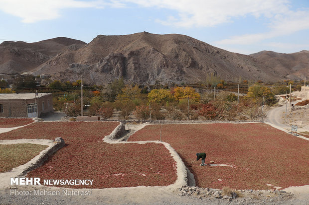 Barberry harvest in South Khorasan province
