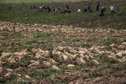 برداشت چغندر قند در آذربایجان غربی آغاز می شود