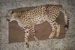 یک قلاده یوزپلنگ ماده در جاده جاجرم تلف شد