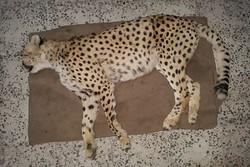 سکوت پرتال خبری سازمان محیط زیست درباره مرگ یوزپلنگ ایرانی