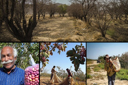 نیم میلیون فرصت شغلی در کرمان از دست رفت/ درختانی که زغال میشوند