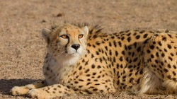 On verge of extinction: Cheetah killed in road accident in northeastern Iran