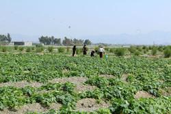مزارع کشاورزی اسلامشهر با میزان کود و سموم بالا معدوم می شوند