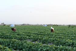 تولید محصولات زراعی در استان قزوین ۱۶۰ درصد افزایش داشته است