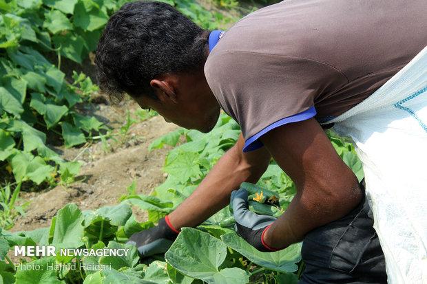Hürmüzgan eyaletinde salatalık hasadıی هشتبندی