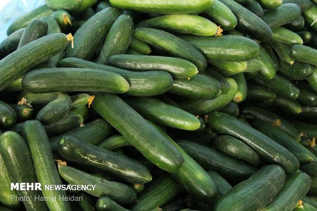 Hürmüzgan eyaletinde salatalık hasadı
