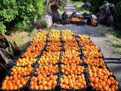 صادرات روزانه ۵۰۰ تن پرتقال از مازندران به خارج از کشور
