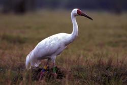 Lonely Siberian crane 'Hope' returns to Fereydunkenar
