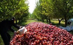 تولید ۲۵۰ هزار تن انواع محصولات باغی در کرمانشاه