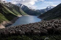 Alp dağlarını gezen çobanlar