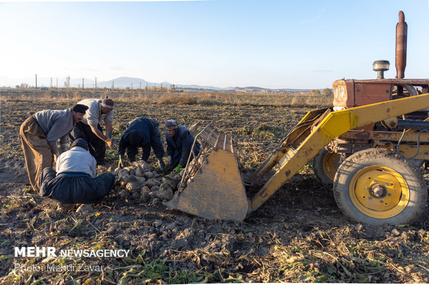 برداشت چغندرقند در سطح ۱۸۵ هکتار از اراضی چرداول آغاز شد