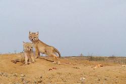 ۸ قلاده روباه در استخر ذخیره آب کشاورزی مهدیشهر تلف شدند