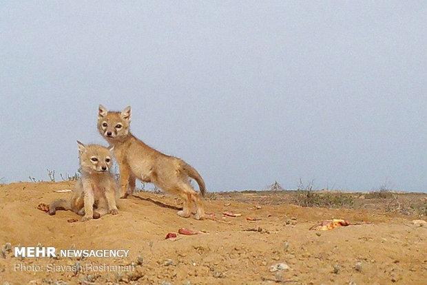 روباه ترکمنی به دالان مرگ میرود/دشت اینچه برای «کُرساک» امن نیست
