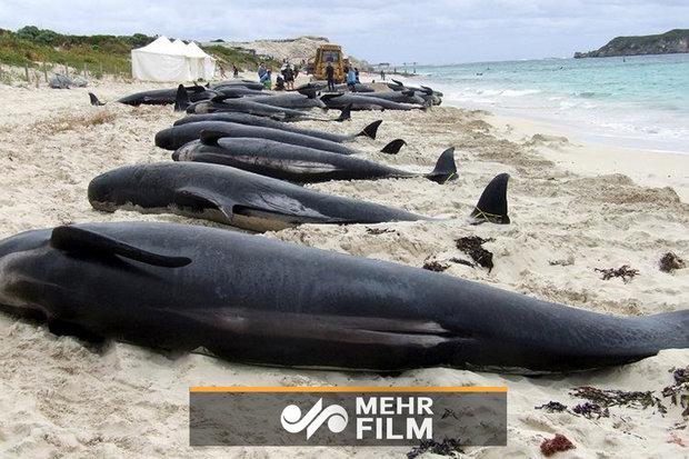 Yeni Zelanda'da kıyıya vuran 145 balina öldü