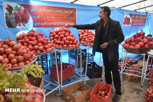 Harvesting pomegranate on farms in Shahreza sub-prov.