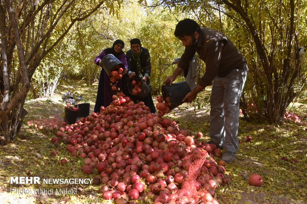 Harvesting pomegranate on farms in Shahreza sub-prov.