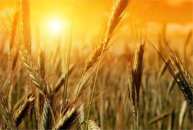 ارزش محصولات کشاورزی ایلام ۲۸۵۰ میلیارد تومان است