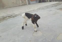 تولد بره ۲ سر در روستای «سراب حمام» پلدختر