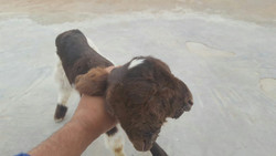 VIDEO: Two-headed lamb born in Iran