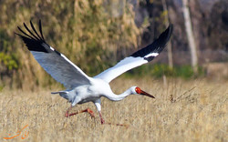 Siberian crane 'Omid' returns to Iran, brings hope