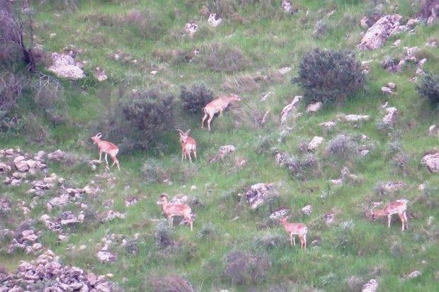 جمعیت حیات وحش منطقه شکارممنوع دشتستان افزایش یافت