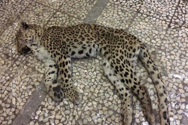 لاشه یک قلاده پلنگ ماده در مازندران کشف شد