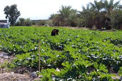 برنامهریزی جامعی برای رونق کشاورزی سرعین نداریم