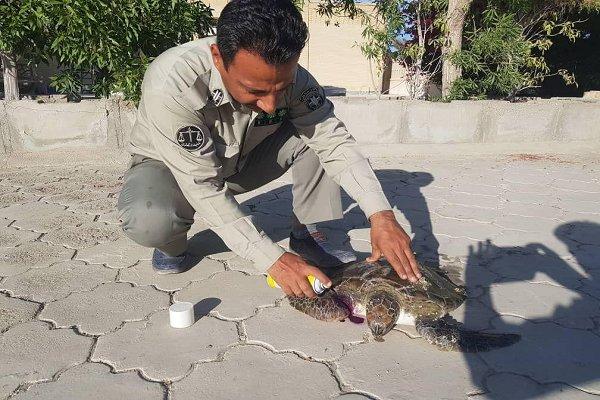 نجات جان یک قطعه لاک پشت سبز دریایی در جنوب سیستان بلوچستان