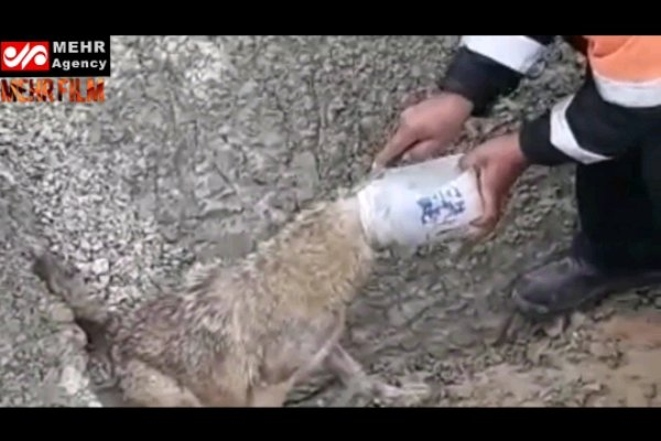 Plastik kapta başı sıkışan yavru kurt böyle kurtatıldı