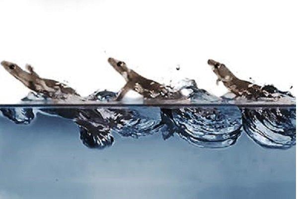 شناسایی رازهای مارمولکی که روی آب می دود